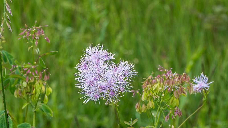 Flower of tall meadowrue