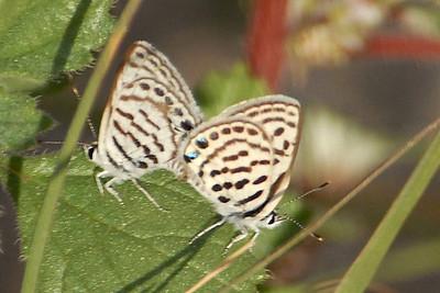 Tarucus roseacus