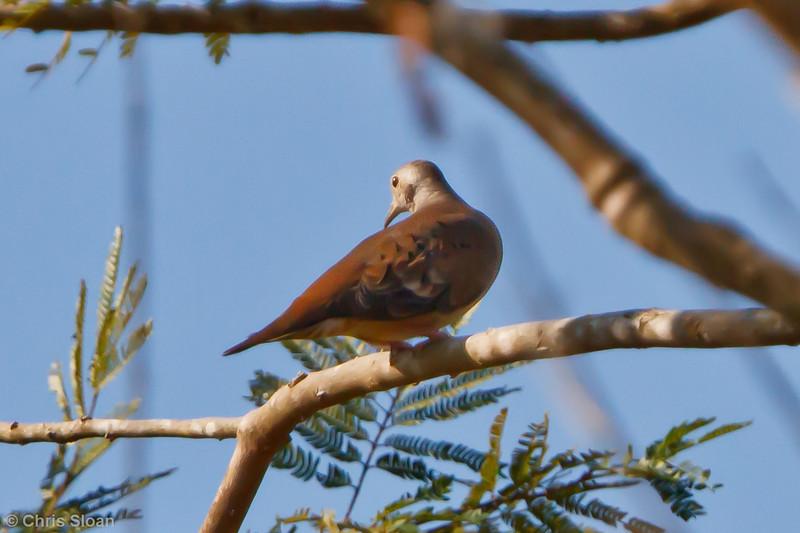 Blue Ground-Dove female at Juan Guerra, Tarapoto, Peru (07-03-2010) 368.jpg