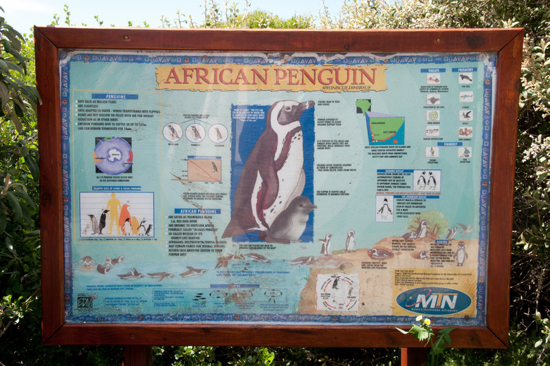 Infographic on African Penguins at Boulders Beach