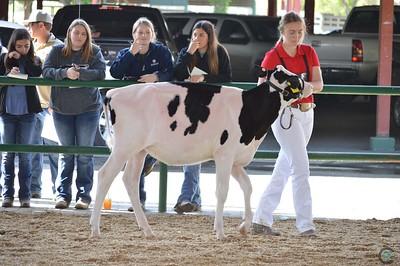 CA State Holstein Heifer Show 2017
