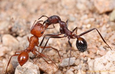 Ants of the North American Deserts