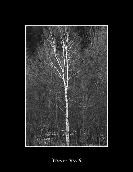 white-birch.jpg