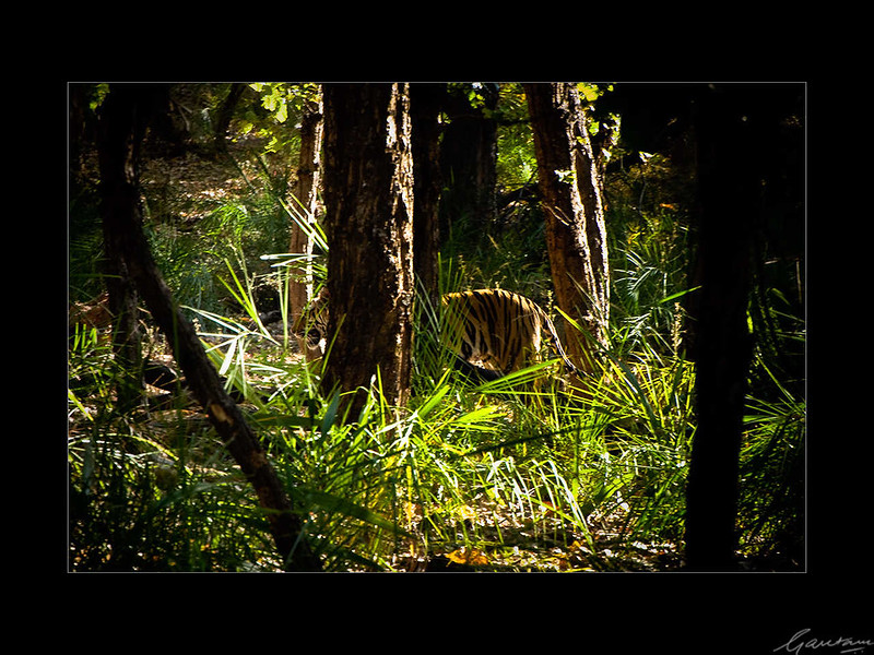 01: Bandhavgarh tiger sighting