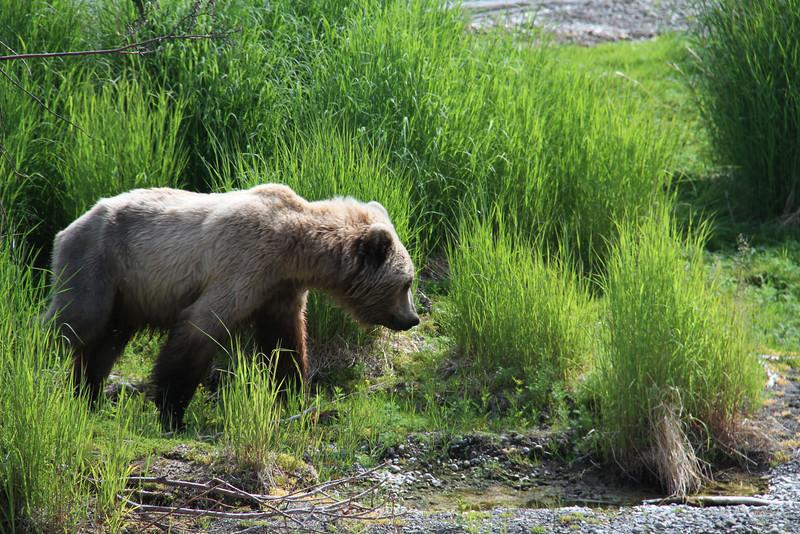 Katmai Bear3.jpg