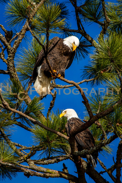 122218 Bald Eagles at Lake CDA, Idaho
