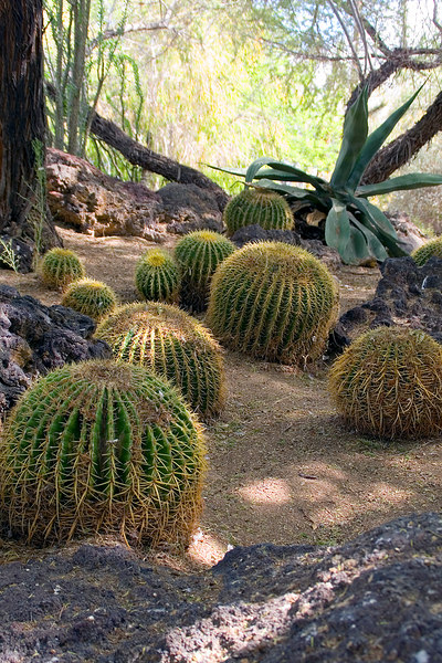 Cly liked these golden barrel cacti