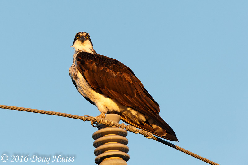Female Osprey Pandion haliaetus