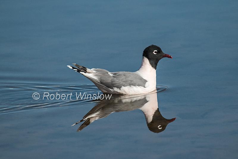 Bonaparte's Gull, Chroicocephalus philadelphia, La Plata County, Colorado, USA, North America