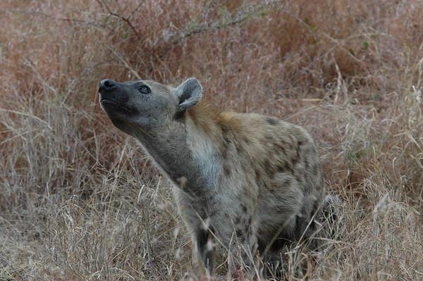 Hyena South Africa 2004 2007 2008