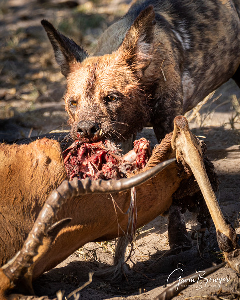Wild Dogs Botswana-3.jpg