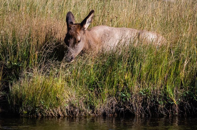 Elk baby 091918.jpg
