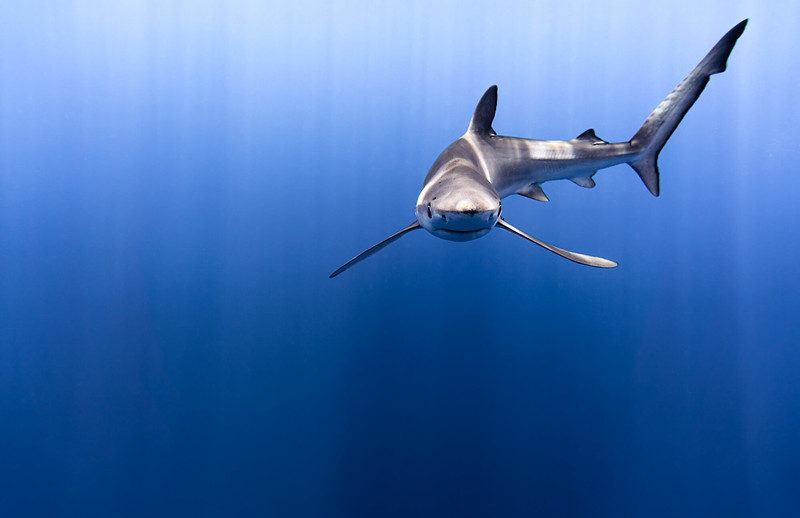 blue shark.jpg