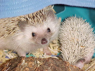 Holly's Hedgehogs