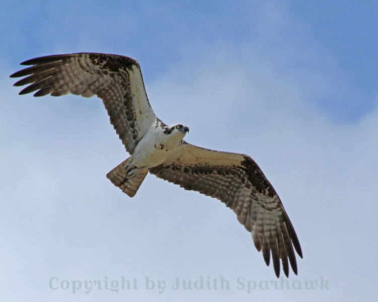 Osprey Flying ~ I saw many Ospreys in the Everglades, flying over, fishing, standing guard at nest sites.