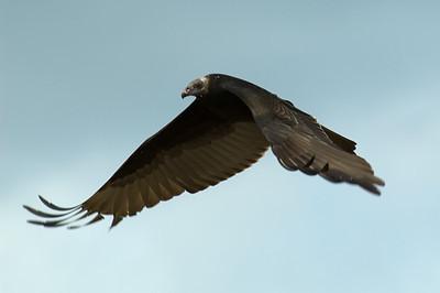 Scavengers (Vultures)
