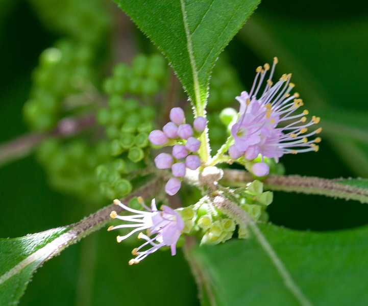 beautyberry blossoms