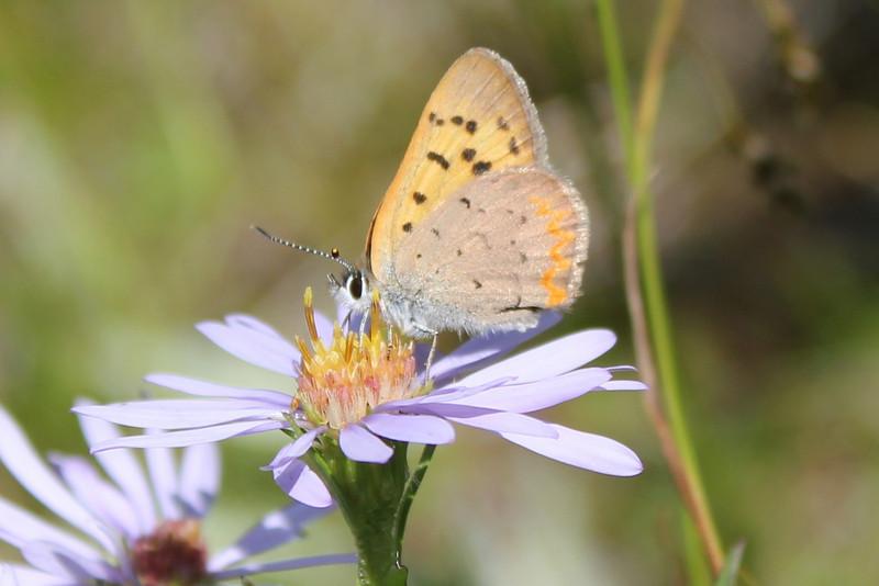 Dorcas Copper (Lycaena dorcas).