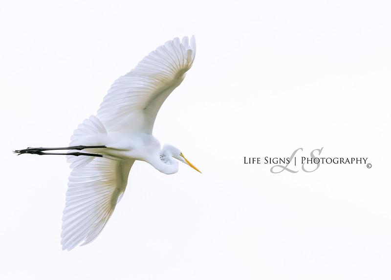 LS - Birds - Great Egret in Flight.jpg