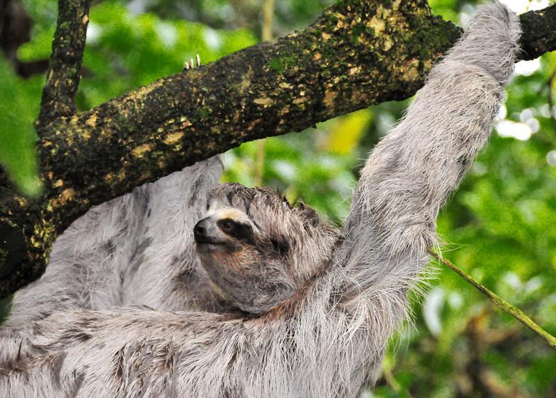 Costa Rican Sloth .jpg