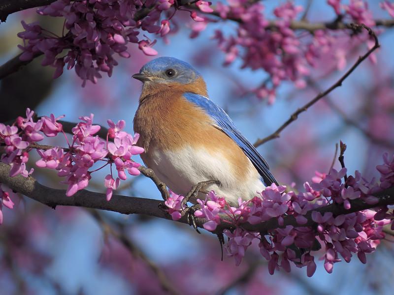 sx50_bluebird_ben_bit_859.jpg