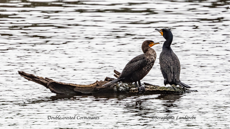 _DSC1502Double-crested Cormorants.jpg
