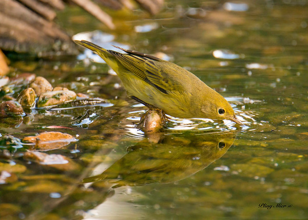 Yellow Warbler reflection_DWL5256.jpg