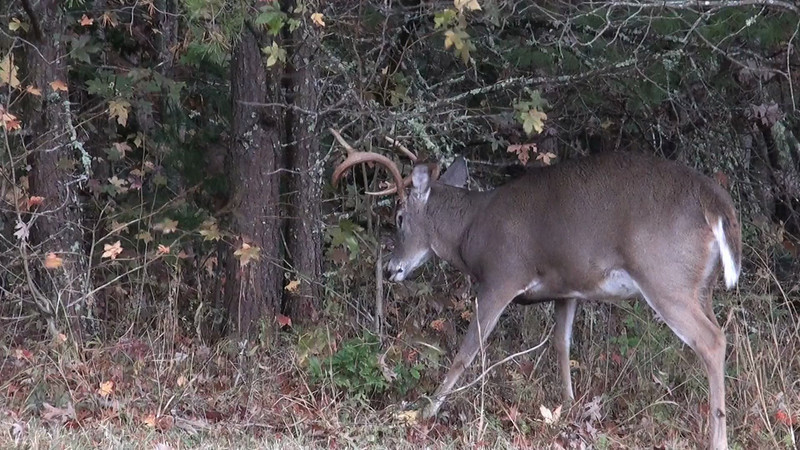 whitetail_branches.mov