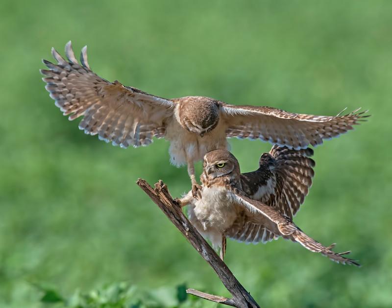 Burrowing Owl fight_McGowen.jpg
