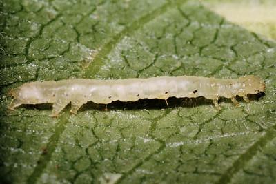 Aumakua omaomao (Lepidoptera-Noctuidae)