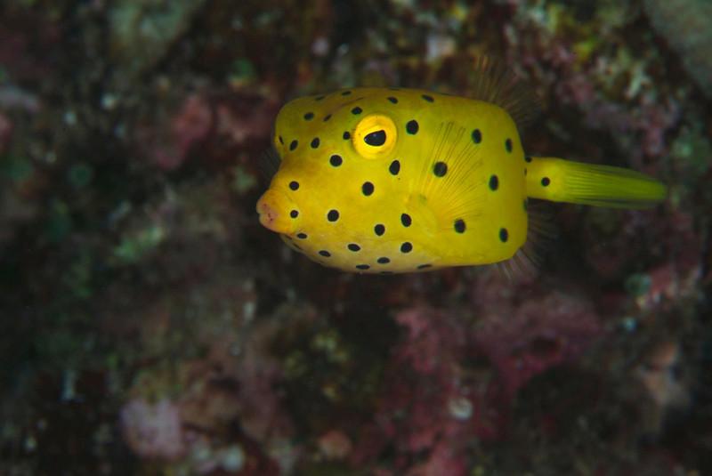 fish boxfish baby 21.jpg