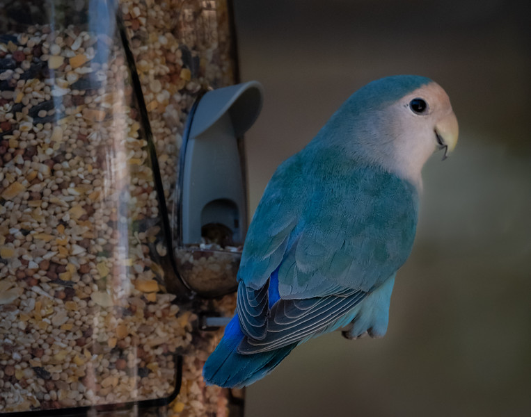 Blue Peach-faced Lovebird