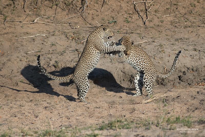 Leopard (Salayexe & Tiyane), Sabi Sands (EP), SA, Oct 2016-4.jpg