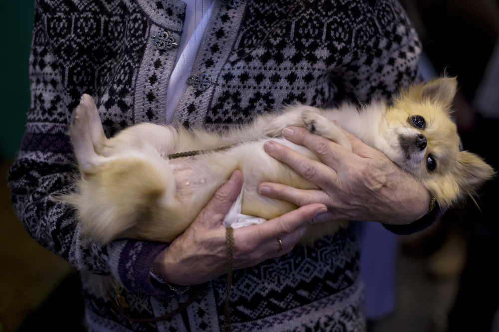 """. A woman holds her chihuahua during the second day of the Crufts dog show in Birmingham, in central England on March 8, 2013. The annual event sees dog breeders from around the world compete in a number of competitions with one dog going on to win the \""""Best in Show\"""" category.  BEN STANSALL/AFP/Getty Images"""