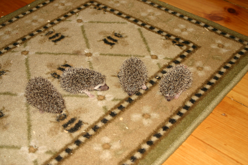 Litter - BB and Buttercup (04/25/2004)  22-23 days old.  Filename reference: 20040518-195714-HAH-Hedgehog_Babies
