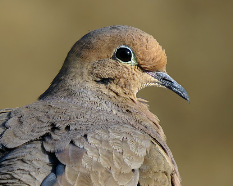 sx50_mourning_dove_portrait_089.jpg