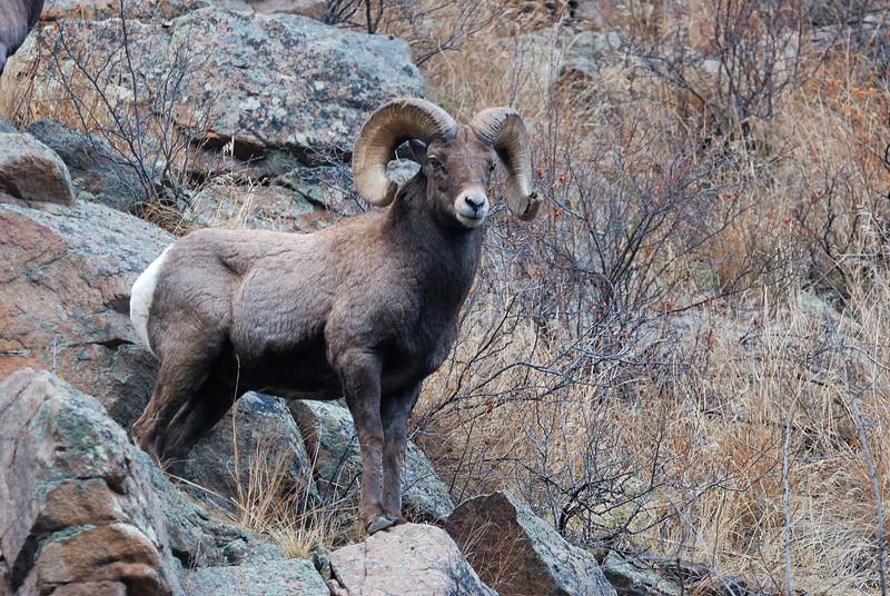 Bighorn Sheep 12062008 071.jpg