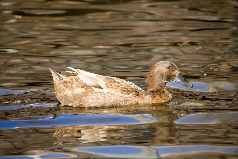 2016_02_27_Ducks_5536.jpg