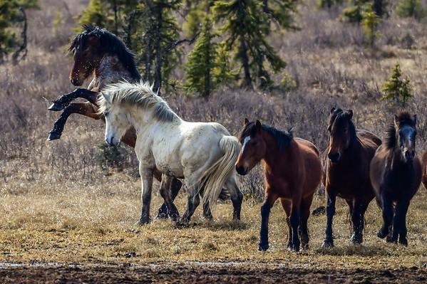 12-25-15 Alberta Wild Horses - White Spirit - A Quick Review