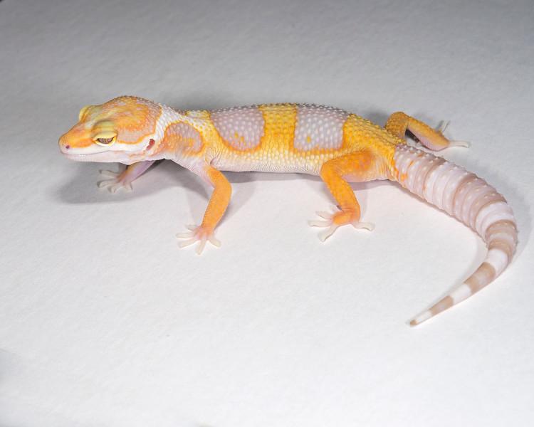 LG0415, Tremper het Raptor, hatch 5/3/15, TSF, 20 grams, $40