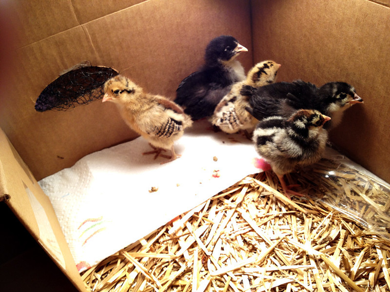 Soon I began to see how they might be named.  The little brown speckled ones looked like cookies, so I named the lightest one Pecan Sandee and the darker one Chocolate chip.  The little multicolored one front right was to become a beautiful black and white chicken called a Silver Laced Wyandotte, so I named her Sylvia.  The larger dark ones became Maude and Ida after my grandmother and her twin sister.