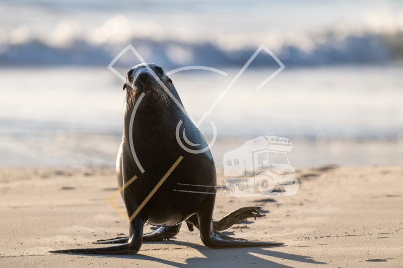 Portrait of female New Zealand Sea Lion walking on the sand of Sandfly beach