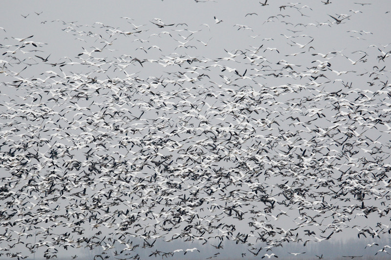 Snow Geese & White-fronted Geese