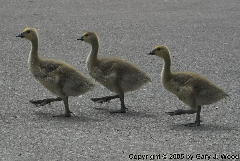 Goose-stepping