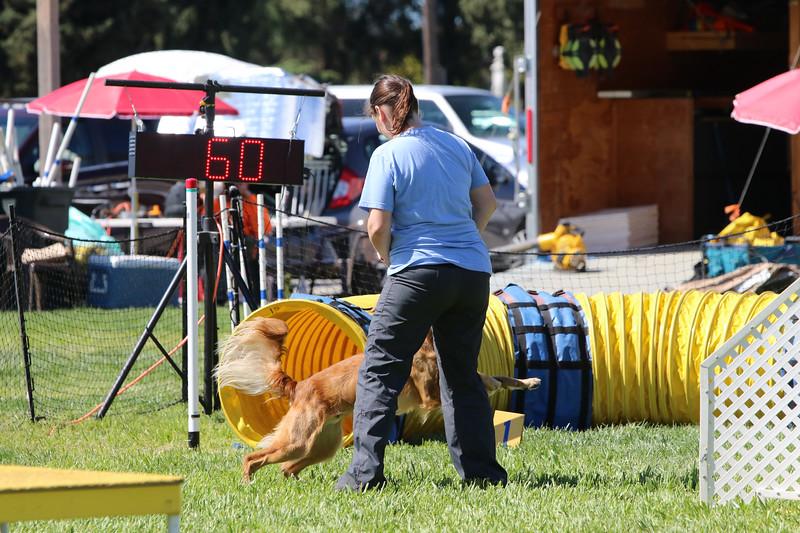 3-31-2018 Shetlant Sheepdog-3703.jpg