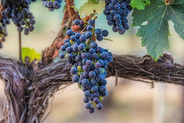 Vineyard & Wineries