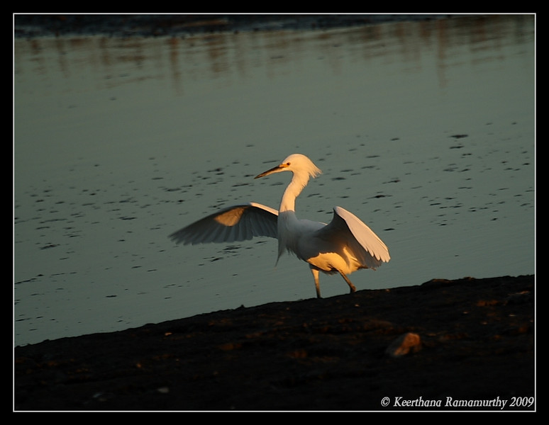 Snowy Egret, Tijuana River Estuary, San Diego County, California, January 2009