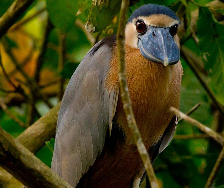 Boat-billed Heron  mangroves of San Blas  Nayarit Mexico  2013 03 11 (1 of 1).CR2 (2 of 3).CR2