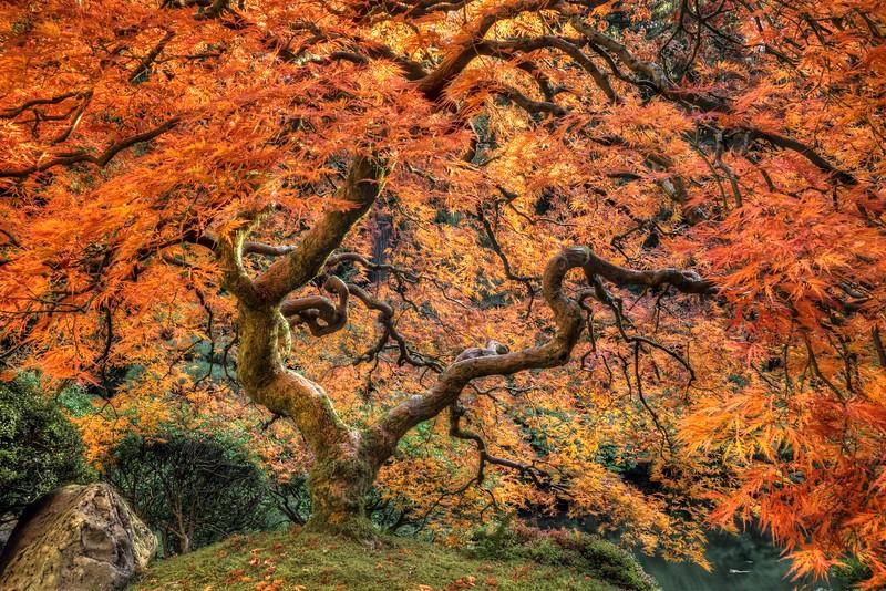 Japanese Maple, Autumn, Study 2, Japanese Garden, Portland, OR