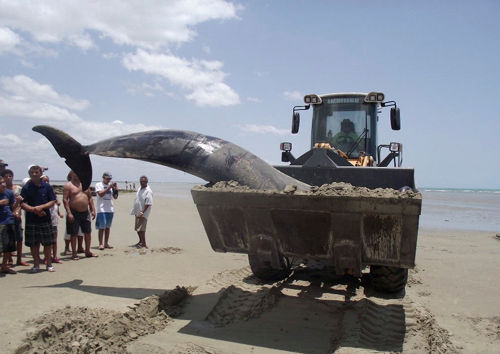 . In this Sunday, Sept. 22, 2013 photo, released by the community news blog, Voz de Areia Branca, a tractor is used to remove a dolphin carcass from Upanema beach in Areia Branca, Brazil. Around 30 large dolphins beached themselves in northeastern Brazil over the weekend, and news reports said Monday that at least seven of them had died. The dolphins, known as false killer whales, ran aground early Sunday on the shallow sands of Upanema beach. (AP Photo/Voz de Areia Branca, Carlos Junior)